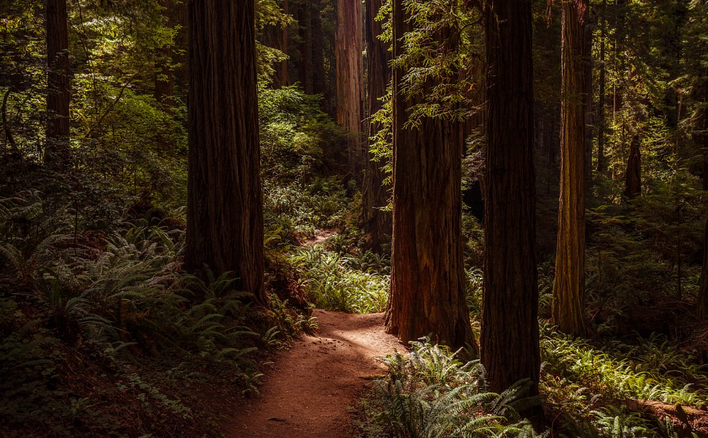 Redwoods Path at Praire Creek